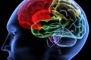 """Сложната реч издава """"по-голям"""" мозък"""