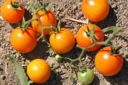 Оранжевите домати са по-полезни