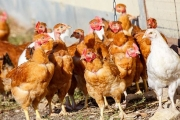 Откриха птичи грип в с. Гита