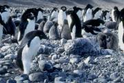 Пингвини са носители на нов вид птичи грип