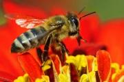 Пчелите крият тайната за предпазването от ХИВ/СПИН?
