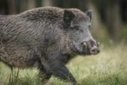Първи случай на Африканска чума по свинете в Сливенско