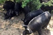 Африканската чума от Румъния може да унищожи българска порода свине на 2500 г .