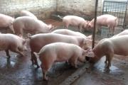 Можем ли да бъдем единни за африканската чума по свинете?